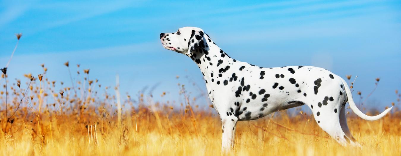 The Dog Man's Choice - perfect for Dalmatians' sensitive stomachs