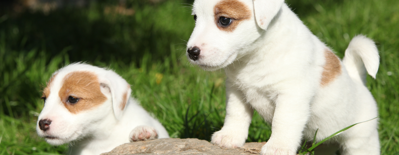 Have healtyhy puppies with super premium Puppy dog food